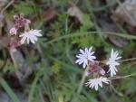 webBulblet Prairie Star, Peg Caliendo