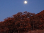 Full Moon Rising Above Oak Trees
