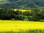Canola-Fields-in-Bloom-2
