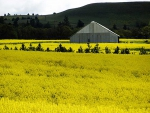 Canola-Fields-in-Bloom-3