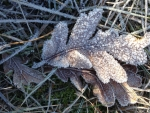 Oak Leaves with Hoar Frost