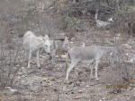 04-Wild-donkeys-copy