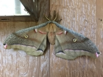 4 Antheraea Polohemous (Silk Moth) - Jocelyn Weeks