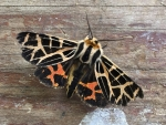 5 Gamma Ornata (Tiger Moth) - Jocelyn Weeks