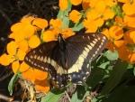 6  Indra Swallowtail - Jocelyn Weeks