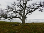 web Peg- Gnarled Oak