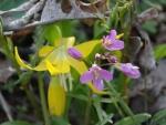 II Yellow glacier lily & oaks toothwort