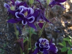Flowers-Blue Columbine, Peg Caliendo