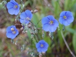 Flowers-Blue Flax, Peg Caliendo