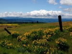 Spring photo - Balsam Root and clouds