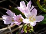 Spring photo - Oaks Toothwort