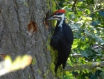 Summer photo - Pileated Woodpecker 1