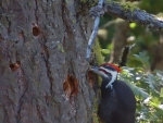 Summer photo - Pileated Woodpecker 2