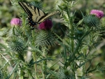 Summer photo - butterfly on thistle web