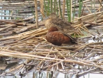 Cinnamon teal resting at Summer Lake OR