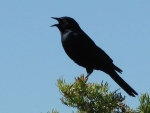 Red-winged Blackbird announcing its territory