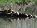 Row of turtles at Steigerwald Refuge