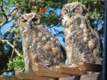 Young-Great-Horned-Owls-Gwen-Berry