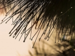 web Virgil- DEW ON PINE NEEDLES