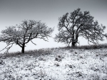 web Virgil- TWO OAKS IN WINTER