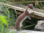01-7840-stoat-if-jpg-580x0