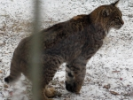 bobcat-high-prairie-12-12-13_web