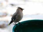 bohemian-waxwing-at-water-high-prairie-12-11-13