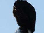Eagle-looking for breakfast3  1 24 13