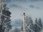 Eagle on frosted phone pole & wires  1 24 13