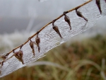 seeds upon a branch in hoar frost1