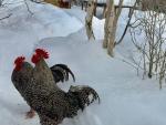 Winter roosters - 3-3-10 - Jocelyn Weeks