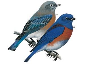 western-bluebird_16880_600x450