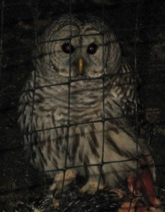 Barred Owl at McDonalds' Place_web