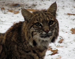 Bobcat up close, High Prairie 12-12-13_web