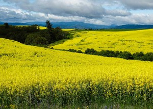 Canola fields in bloom. Photo: Jake Jakobosky