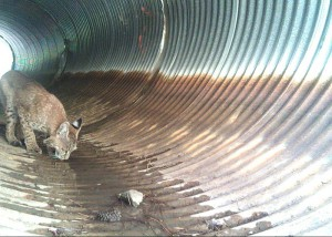 Alex Bertulis got this photo of a bobcat with a motion camera set up in the culvert at the start of Mott Road. They also got pics of raccoons and several kinds of birds