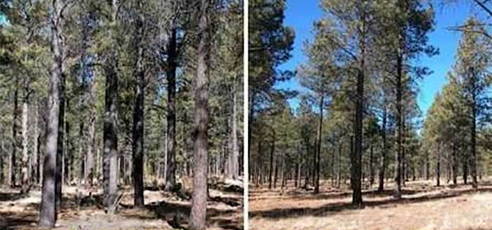 Removing the smaller, weaker trees from this forest (left) produced a more natural and healthier stand (right) that will be more resilient to wildfire and insect infestations. Photos: Glenn Kohler/DNR.
