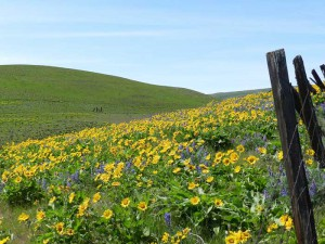 Balsam and lupine on the south side of Stacker Butte. Photo: Jeff McMullin