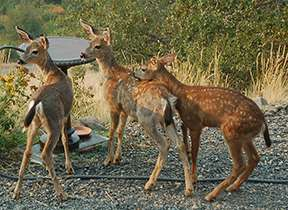 Three fawns. Photo Peg Caliendo